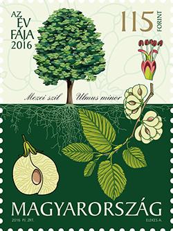 Az év fája 2016: Mezei szil